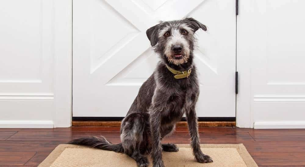 Scruffy dog waiting at the door