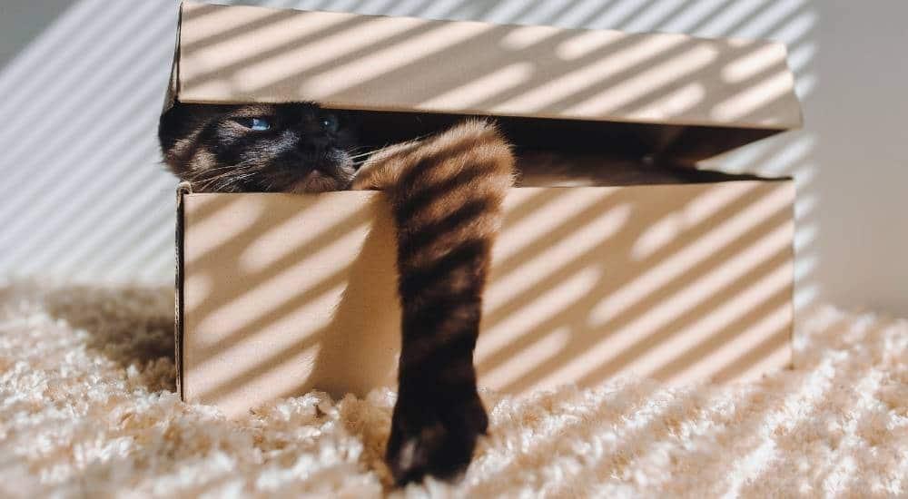 Cat stays in a shoe box
